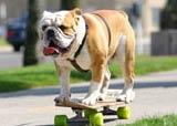 chien skate