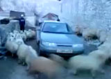 cyclone de moutons