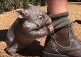 george le bébé wombat