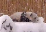 panda joue dans la neige