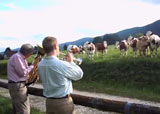 Vaches et jazz