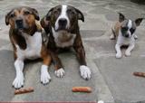 le chien voleur de saucisses